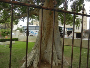 An ancient tree in Jericho